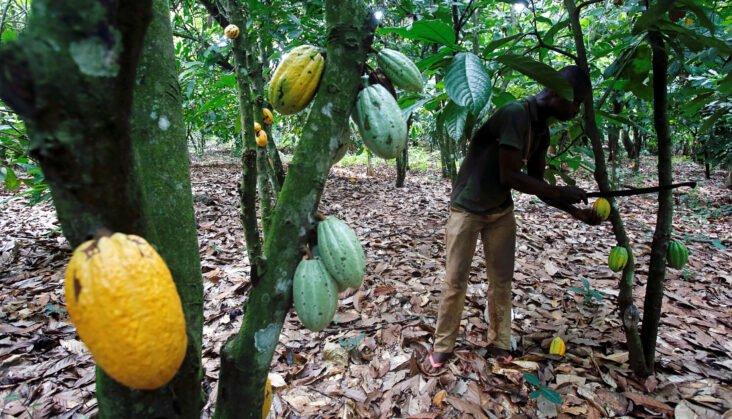 Menace sur le  cacao africain : La Côte d'Ivoire et le Ghana s'imposent  avec «chocpec» face  aux multinationales